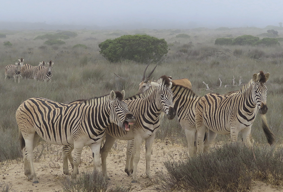 Zebras at Buffelsfontein Private Game Reserve